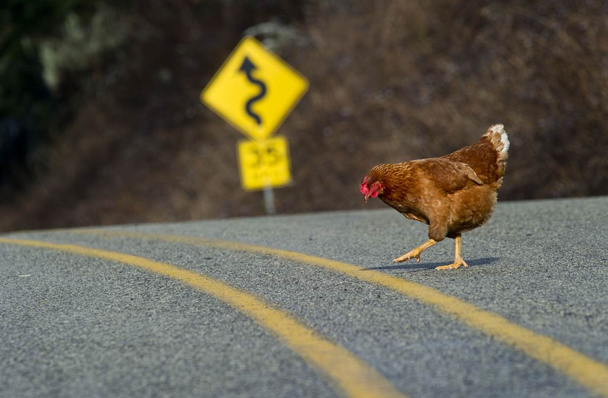 Chicken-crossing-the-road2